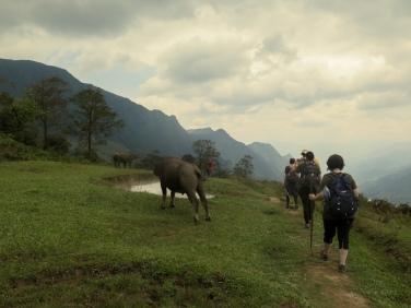 Búfalos de agua en Sapa